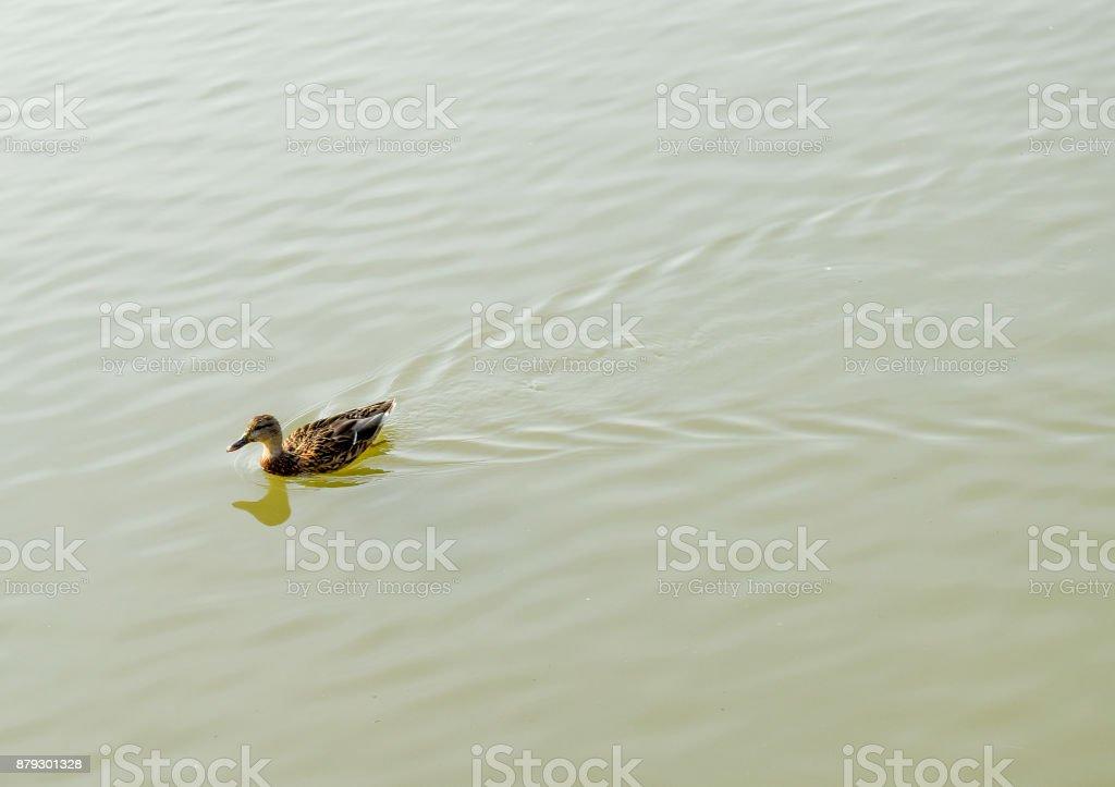 Ducks swimming in the pond. Wild mallard duck. Drakes and females stock photo