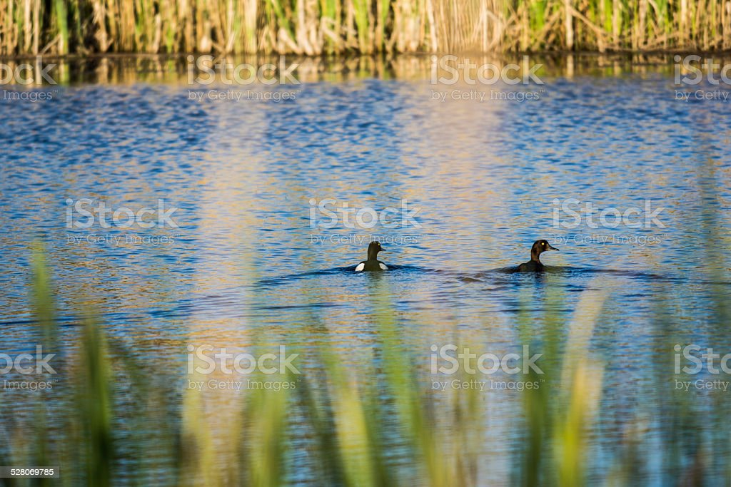 Ducks swimming on a small body of water royalty-free stock photo