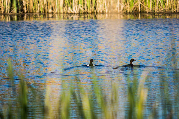 Ducks swimming on a small body of water stock photo