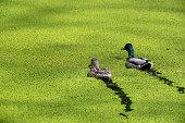 ducks swimming through duckweed