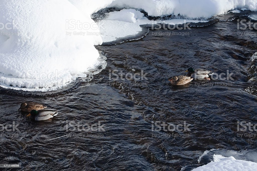 Ducks swimming up the river. royalty-free stock photo