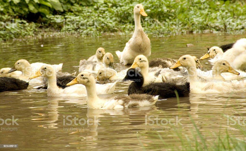 ducks three stock photo