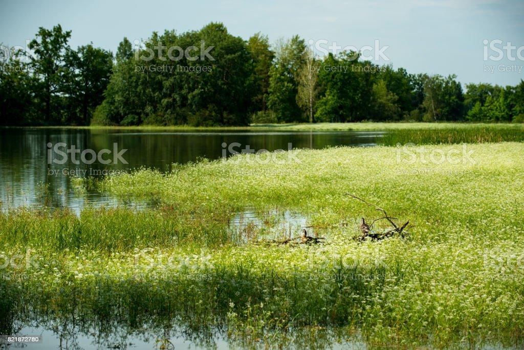 Ducks, tranquil pond in czech republic stock photo