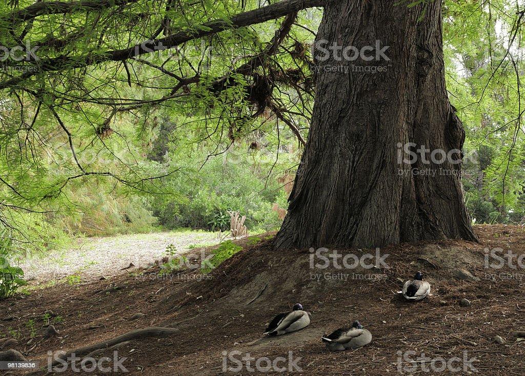 Ducks Under Bald Cypress Tree royalty-free stock photo