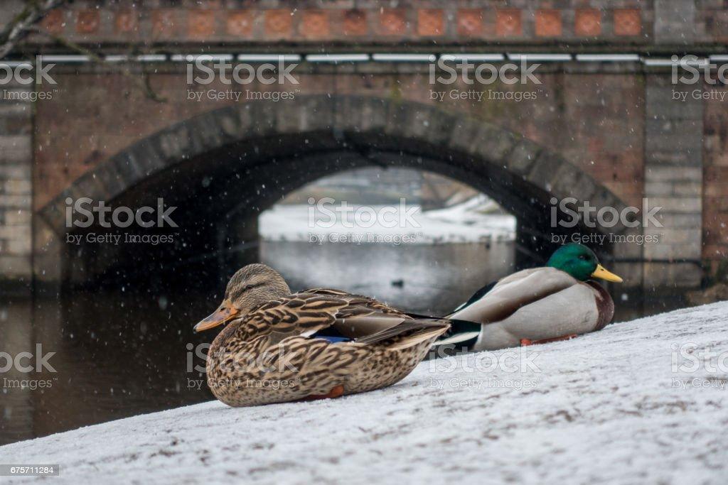 鴨子在市運河上的第一場雪上行走。 免版稅 stock photo
