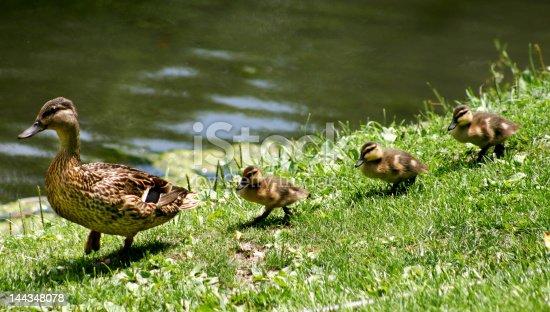 istock Ducks walking in a straight line 144348078
