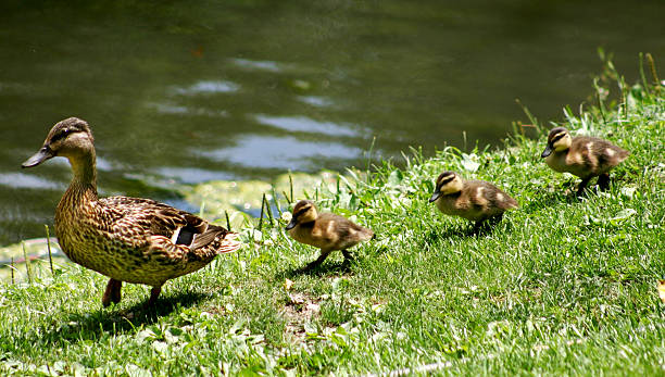 Ducks walking in a straight line Ducks walking a straight line duck bird stock pictures, royalty-free photos & images