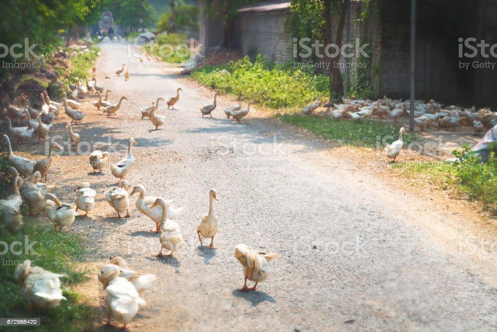 Ducks Walking on The Street stock photo