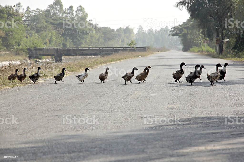 Ducks were crossing the road. stock photo