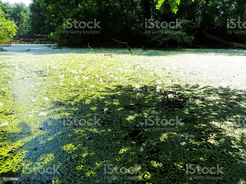 Duckweed in a marsh stock photo