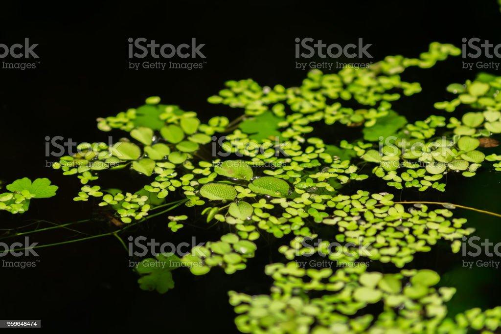 Flotador de hojas de lenteja de agua en la superficie del agua en jardín - Foto de stock de Abstracto libre de derechos
