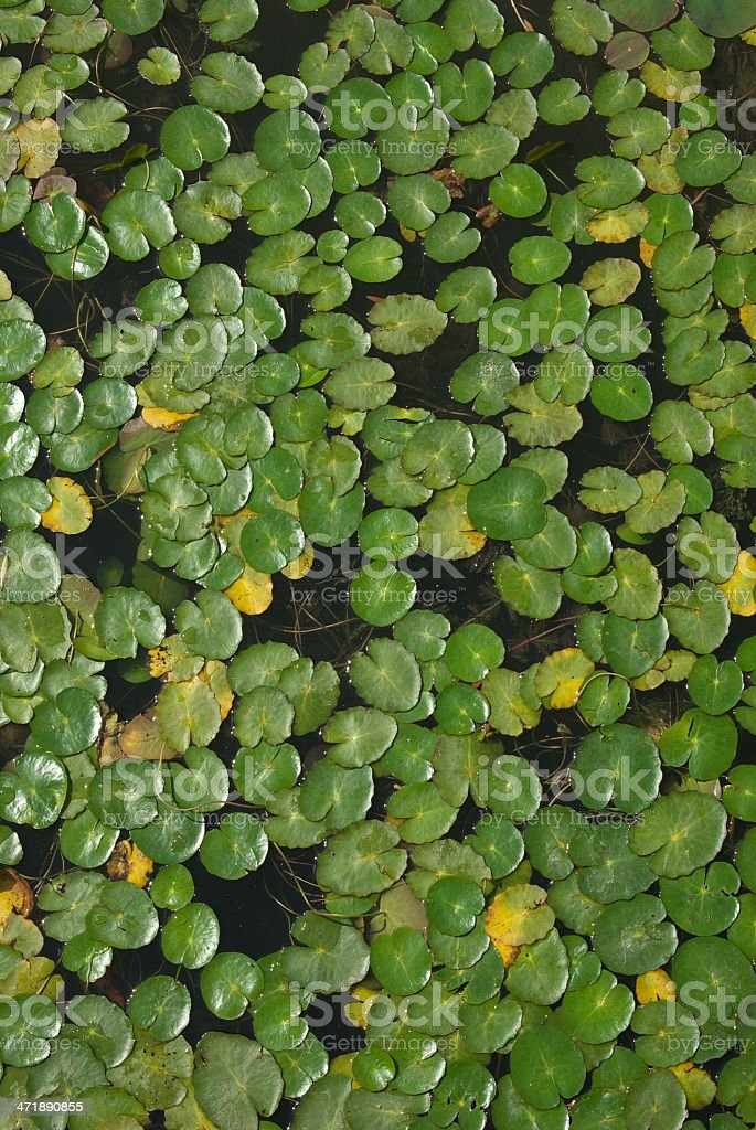 Duckweed royalty-free stock photo