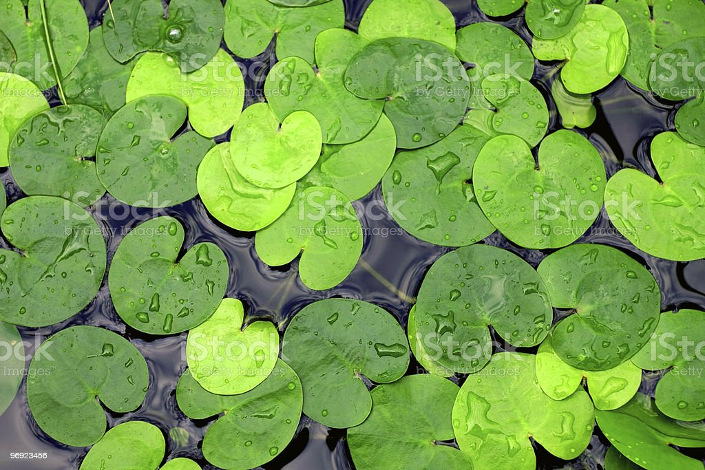 duckweed royalty-free stock photo