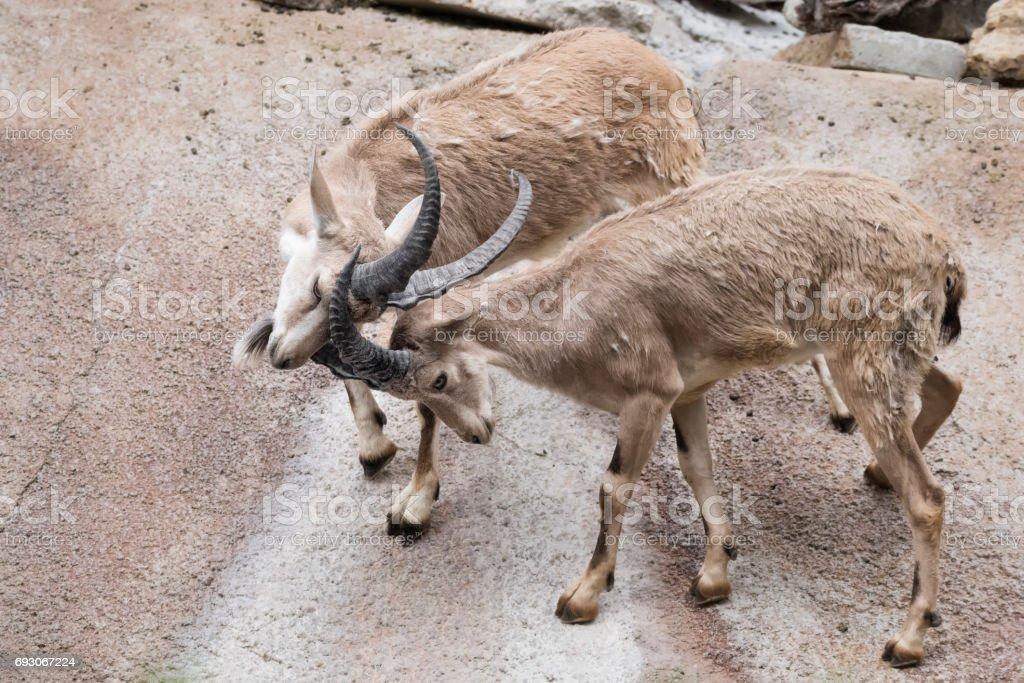 Dueling male Nubian Ibex stock photo