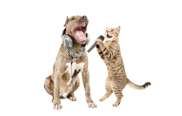 Duet of pitbull and cat scottish straight singing together picture id1010221012?b=1&k=6&m=1010221012&s=612x612&w=0&h=hahwilbqrfnapd03ivvyvrndsclodtvstwhpwpgcjl4=