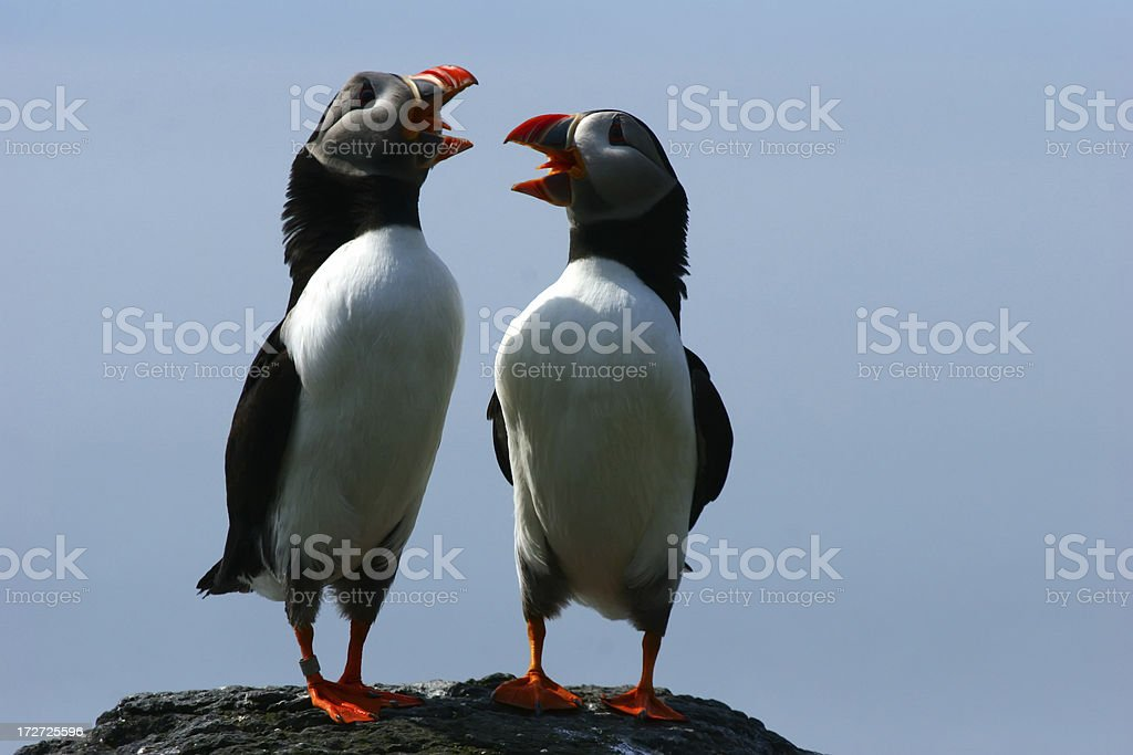 Duet of the Puffins royalty-free stock photo