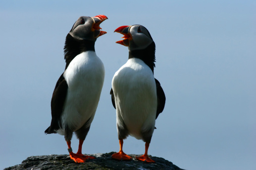 A pair of puffins comically sing to one another on a rocky cliff.