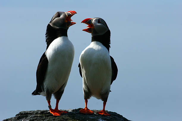 Duet of the Puffins A pair of puffins comically sing to one another on a rocky cliff. auk stock pictures, royalty-free photos & images