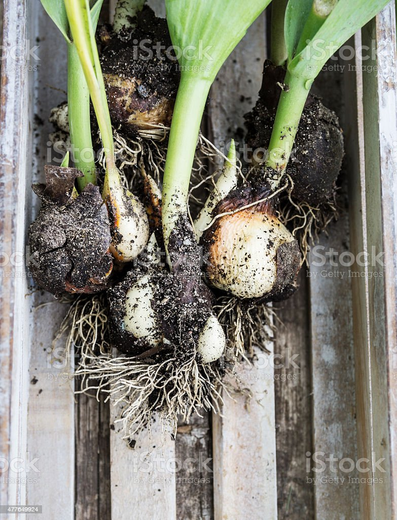 dug tulip bulbs with leaves in wooden box stock photo