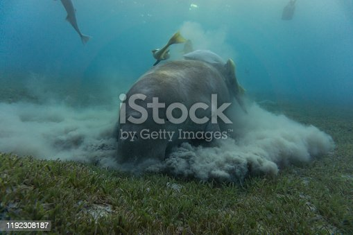 Dugong (sea cow) eating sea grass at the bottom.