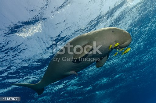 A dugong in the Red Sea, Egypt.