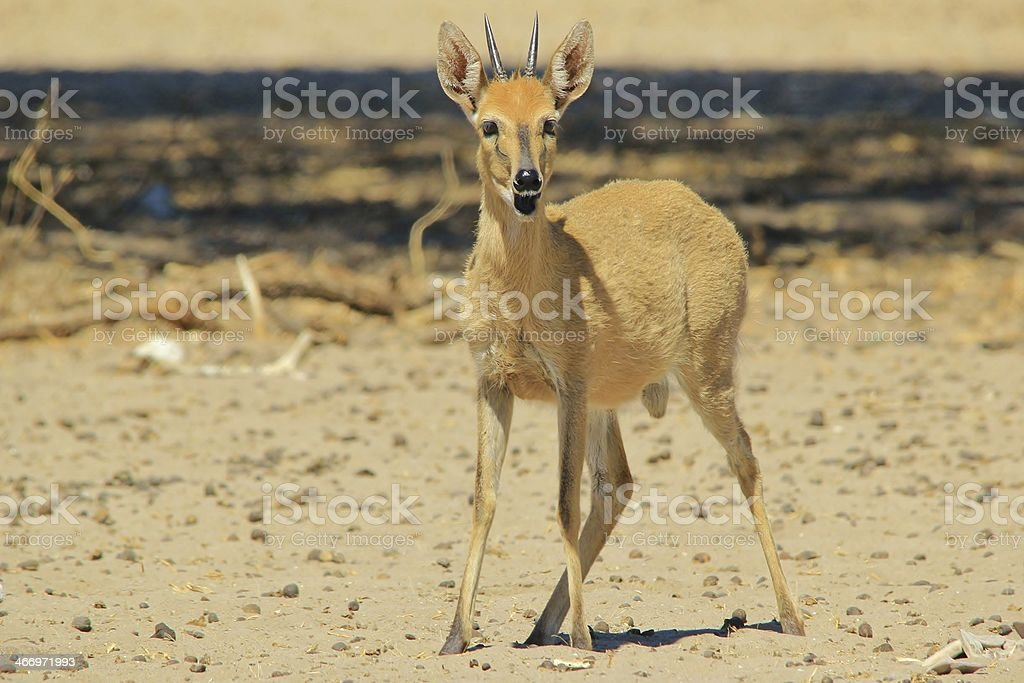 Duiker, Common - Funny African Wildlife Background stock photo