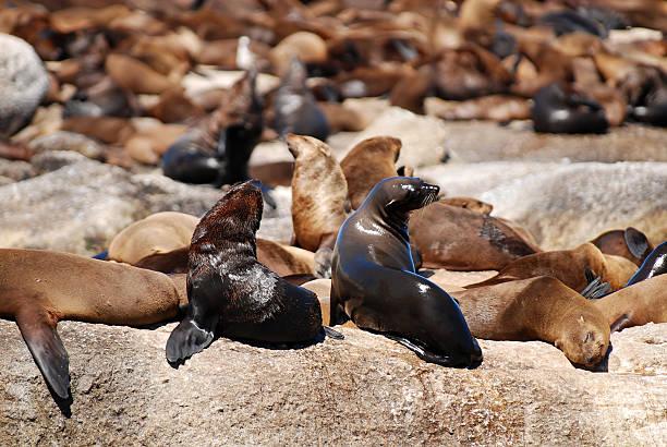 Duiker island-colony of seals stock photo