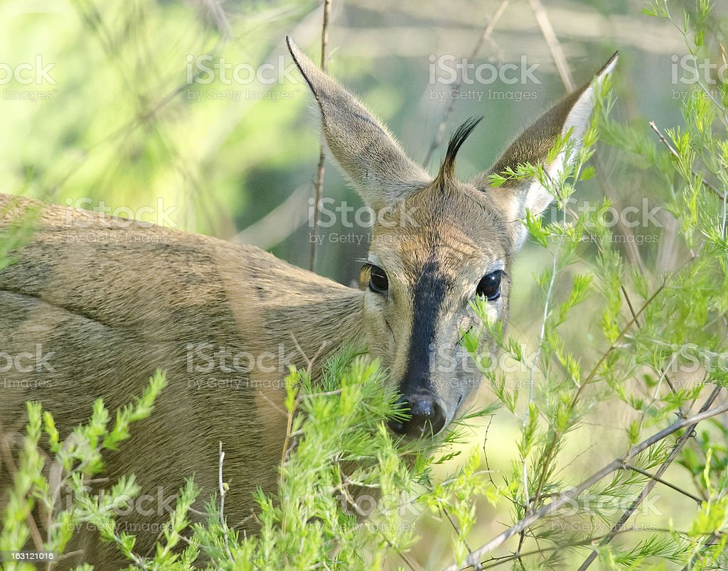 Duiker peering out of bush stock photo