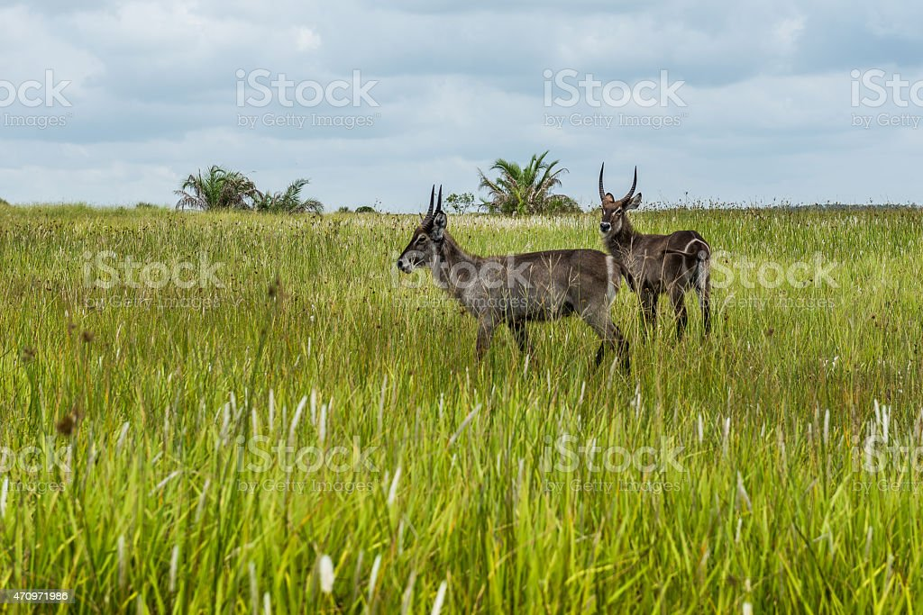 Duiker, St. Lucia. South Africa. February 27, 2015 stock photo