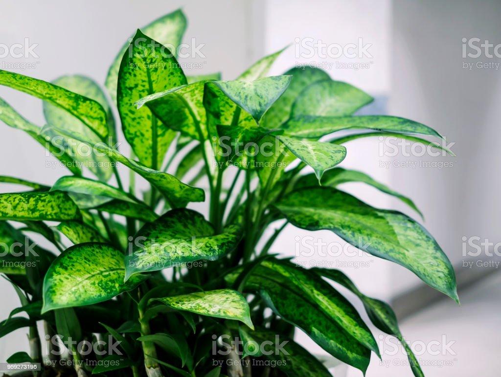 Dumb Cane Pflanze im Bürogebäude – Foto