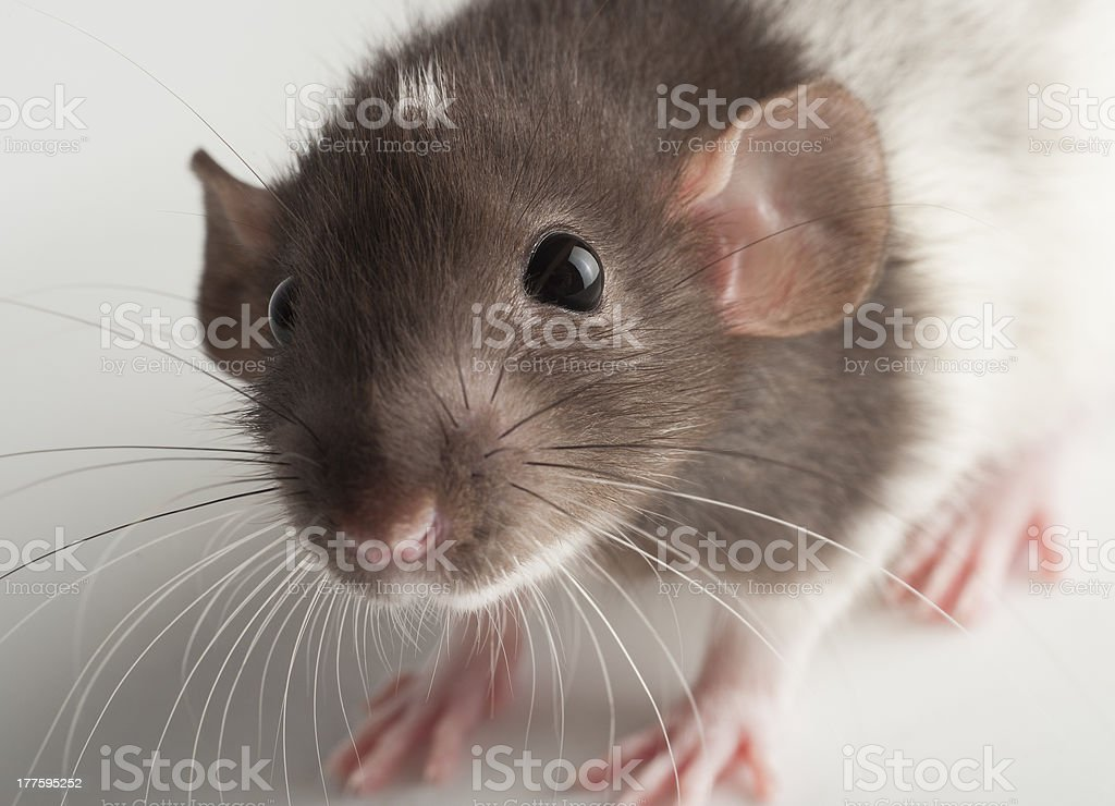 Dumbo Hooded Rat Face stock photo