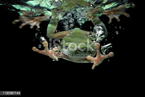 istock Dumpy frog dives into the water, australian tree frog 1132097144