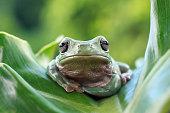 Dumpy frog on green leaves, Dumpy frog sitting on branch