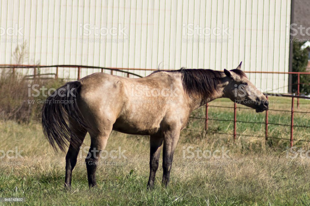Dun horse standing in pasture stretching out neck and waving tail modern barn and metal fence in background stock photo
