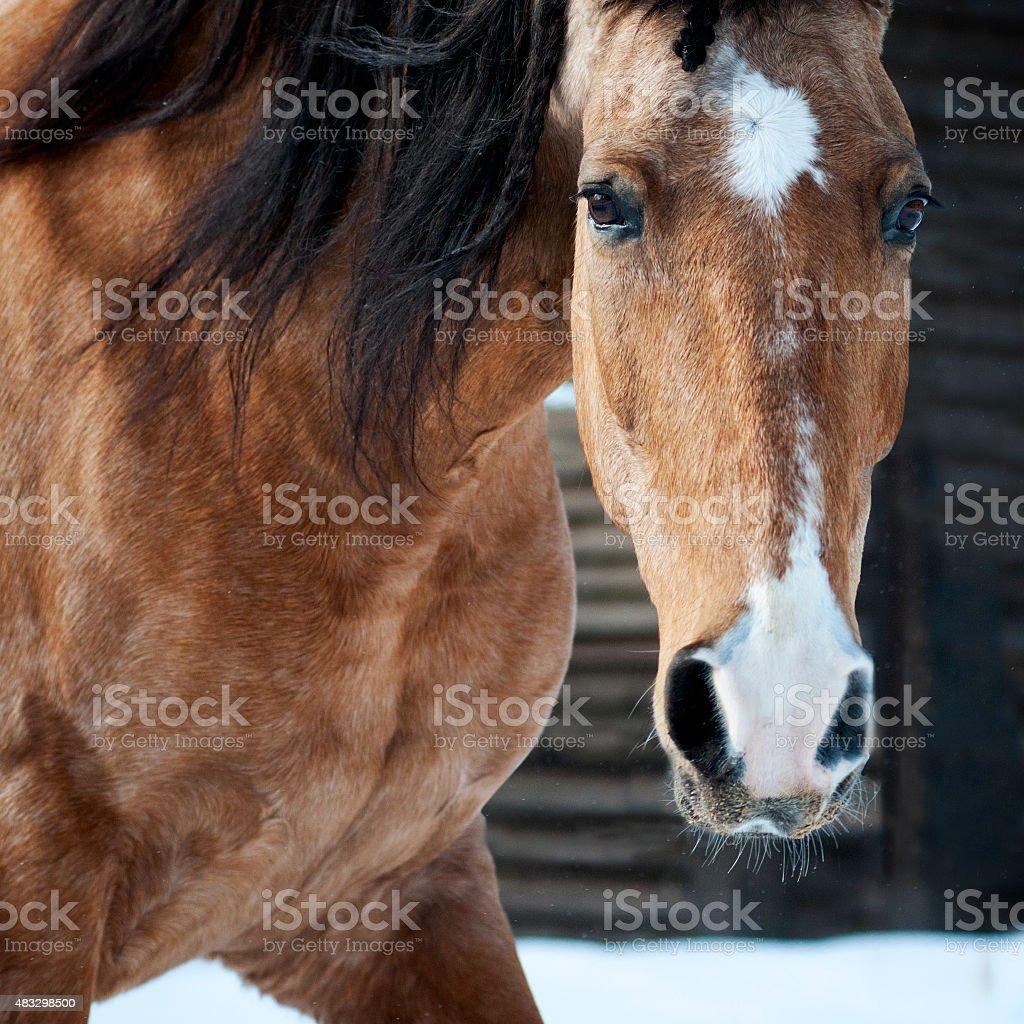 dun lusitano horse portrait closeup in winter stock photo