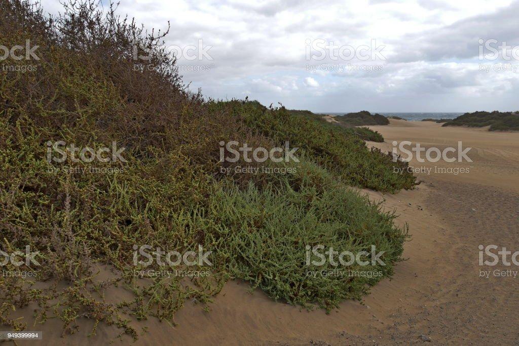 Dunas de Maspalomas - Gran Canaria - Spain - at storm - gray sky - heavily overgrown dune stock photo