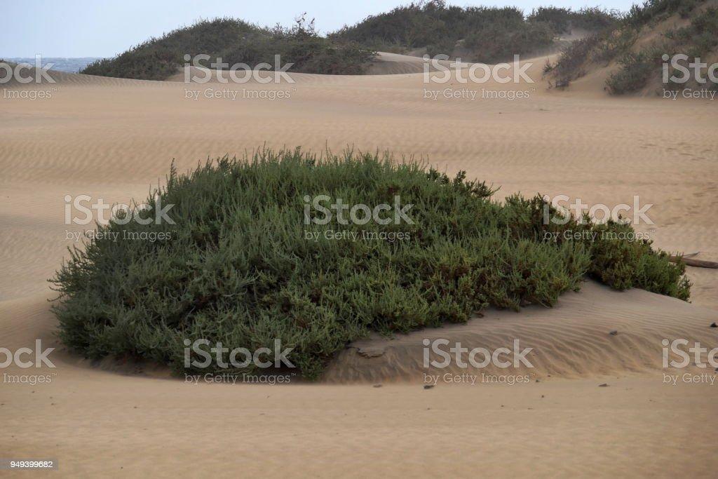 Dunas de Maspalomas - Gran Canaria - Spain - at storm - overgrown dune stock photo