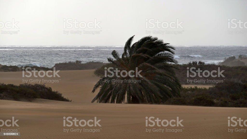Dunas de Maspalomas - Gran Canaria - Spain - at storm - wild sea and wind-bent palm stock photo