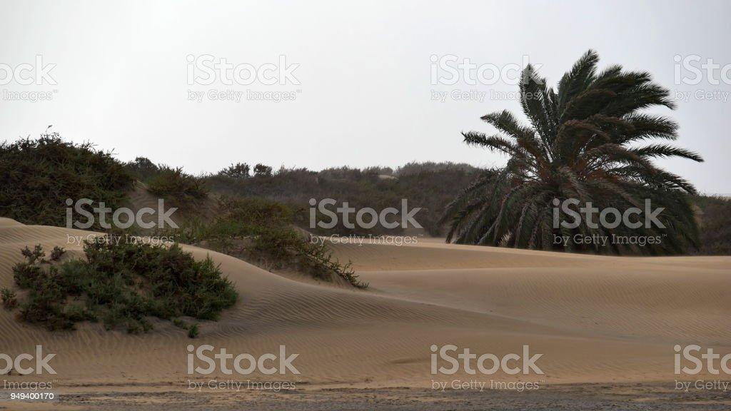 Dunas de Maspalomas - Gran Canaria - Spain - Palm in the storm stock photo