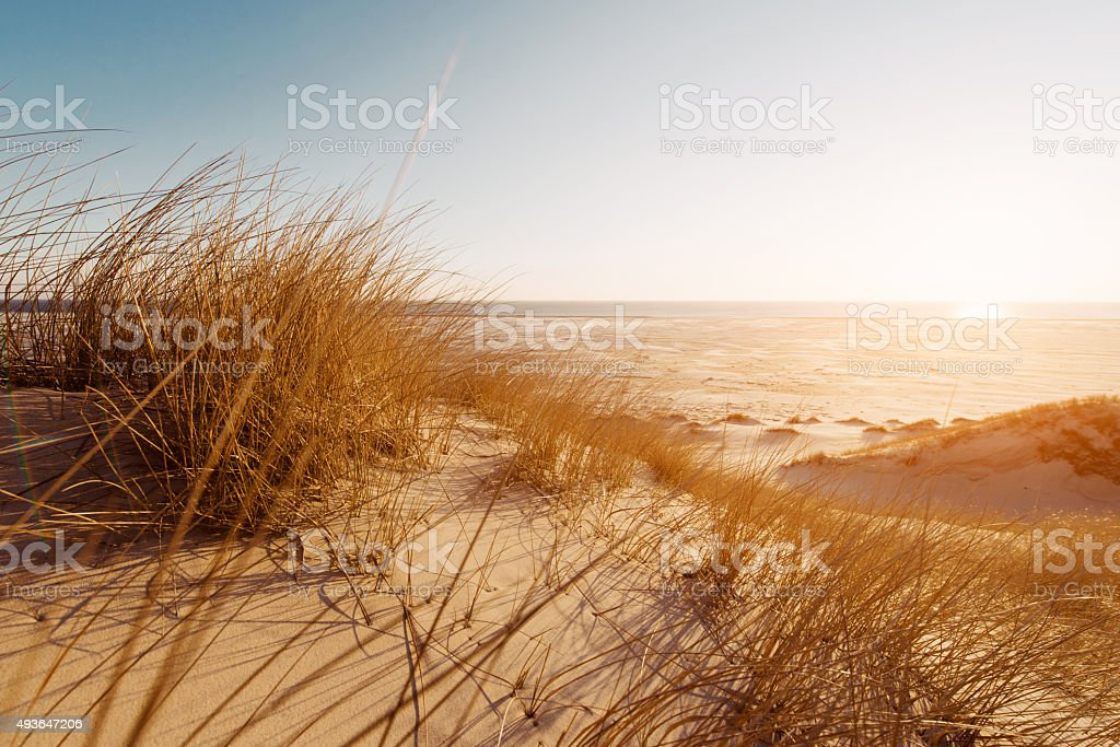 Dune grass on the beach stock photo