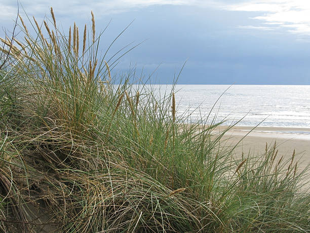 dune grass - sand dune sweden bildbanksfoton och bilder