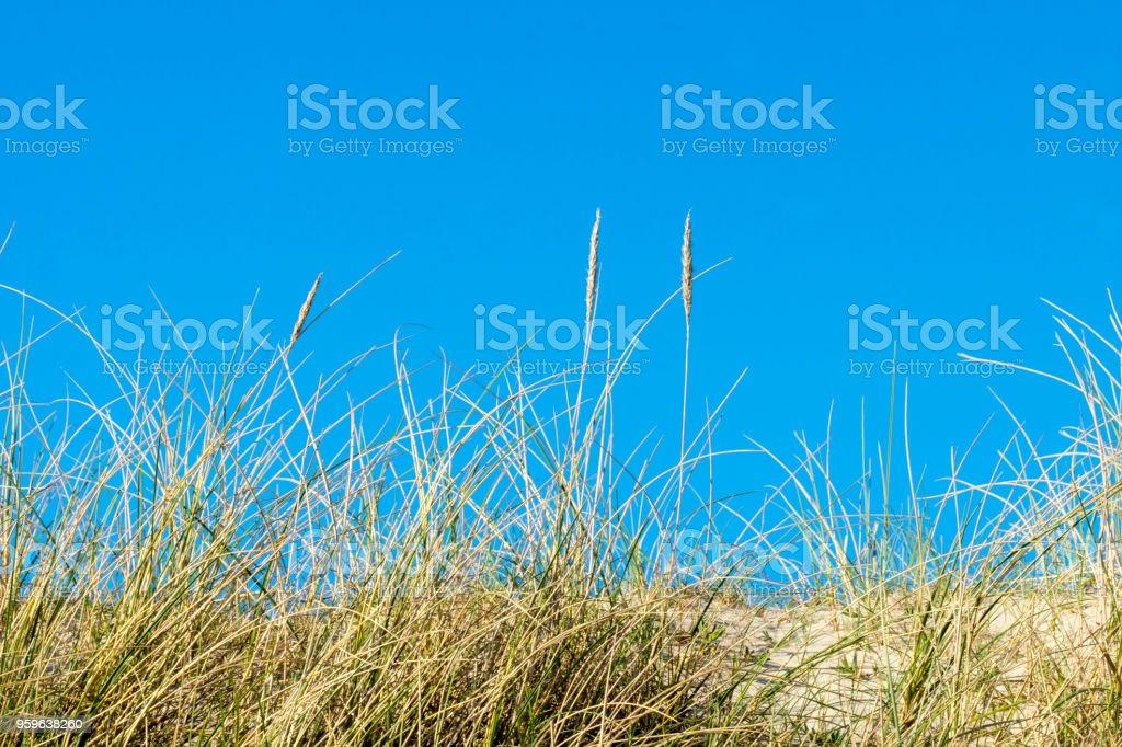 Duna pasto - Foto de stock de Aire libre libre de derechos