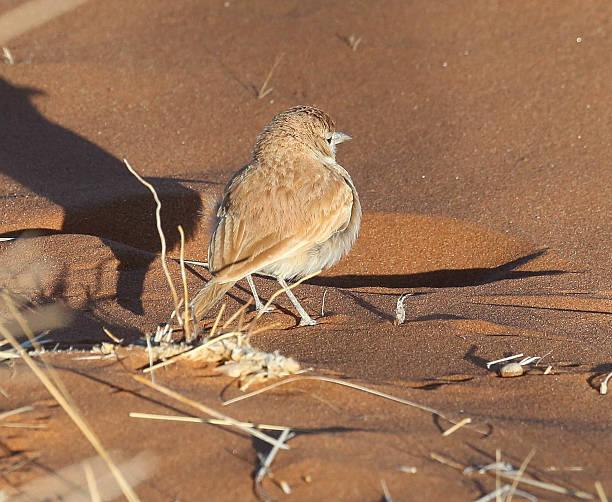 Dune Lark stock photo