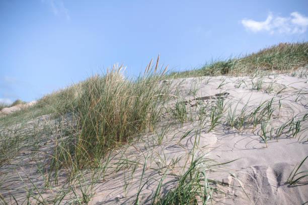 dune med färska lyme gräs i sanden - sand dune sweden bildbanksfoton och bilder