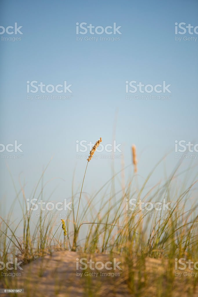 Dune with grasses. Detail stock photo