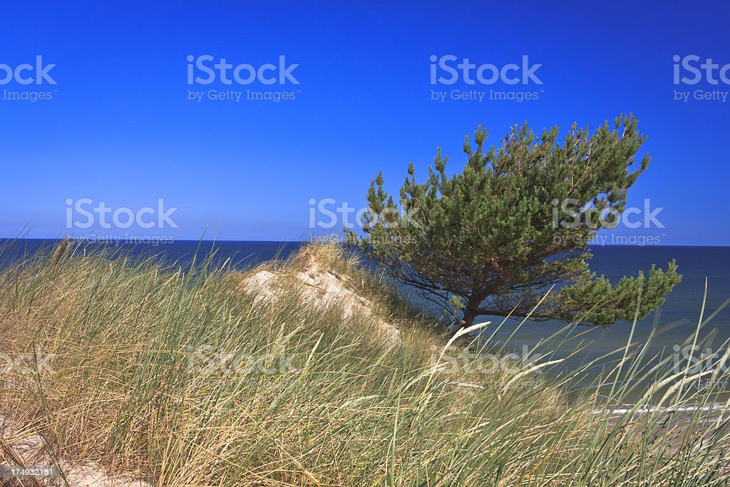 Dune with pine tree on the shore royalty-free stock photo