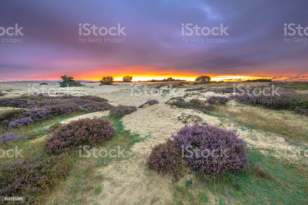 Dunes Grass and Heathland stock photo