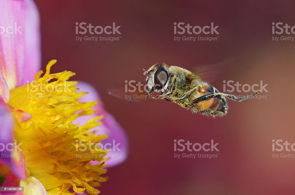 Dung bee at the fly stock photo