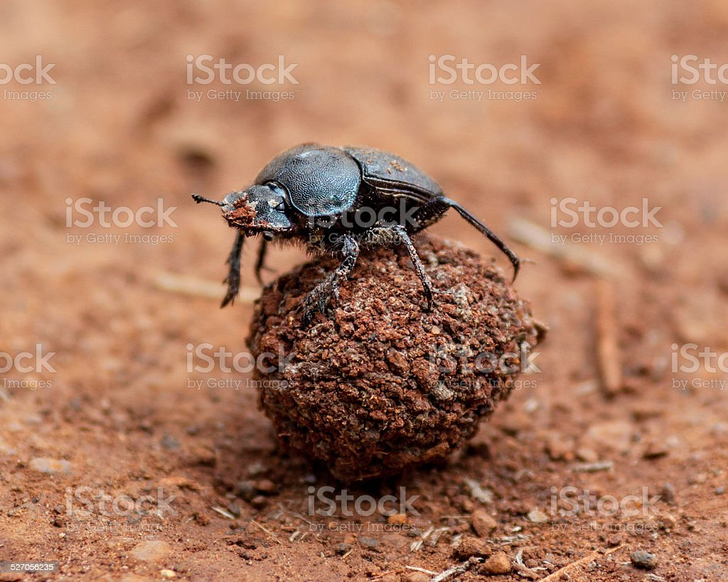 Dung Beetle and it's Poo stock photo
