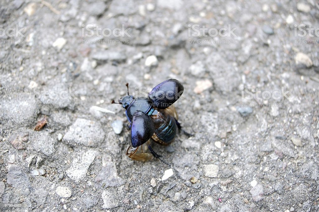 Dung beetle close-up insect, wings spread, copy space royalty free stockfoto